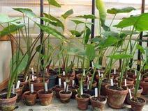 Jeunes plantes cultivées tropicales Image stock