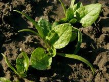 Jeunes plantes d'épinards Photos stock