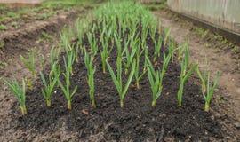 Jeunes plantes d'ail Photo libre de droits