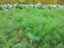 Jeunes plantes d'aneth Photos stock