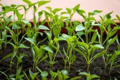 jeunes plantes d'aubergine s'élevant en serre chaude Photos stock