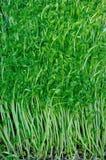 Jeunes plantes d'haricot Photos libres de droits