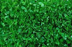 Jeunes plantes d'haricot vert Photo libre de droits