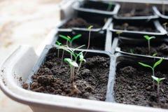 Jeunes plantes dans des pots à la maison Jeunes plantes tôt cultivées des graines dans des boîtes à la maison sur le windowsil ve photo stock