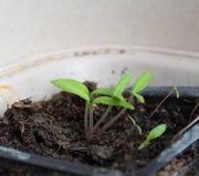 Jeunes plantes dans des pots ? la maison Jeunes plantes t?t cultiv?es des graines dans des bo?tes ? la maison sur le windowsil ve photos stock