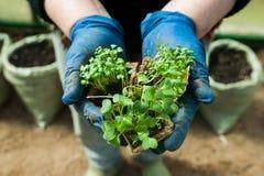 Jeunes plantes dans des pots dans les mains image libre de droits