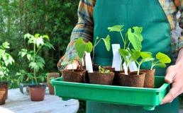 Jeunes plantes dans des tasses Photographie stock