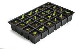 Jeunes plantes dans le plateau Images stock