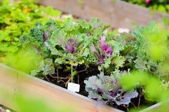 Jeunes plantes décoratives de chou Photographie stock libre de droits
