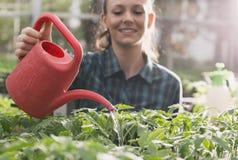 Jeunes plantes de arrosage de fille d'agriculteur en serre chaude Photos stock