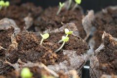Jeunes plantes de Basil Photographie stock