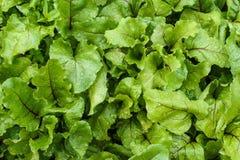 Jeunes plantes de betterave cultivées dans un jardin après arrosage Fond Belles feuilles de texture avec des baisses de l'eau Lég Photographie stock