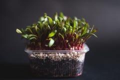 Jeunes plantes de betteraves photos libres de droits