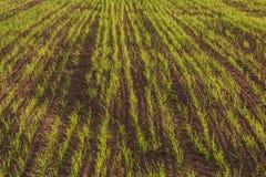Jeunes plantes de blé dans un domaine labouré Photographie stock
