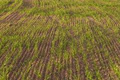 Jeunes plantes de blé dans un domaine labouré, ressort Photos stock