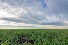 Jeunes plantes de blé dans un terrain Jeune élevage vert de blé Images stock
