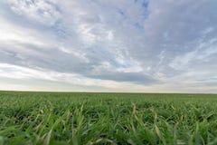 Jeunes plantes de blé dans un terrain Jeune élevage vert de blé Photo stock