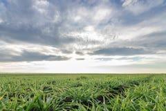 Jeunes plantes de blé dans un terrain Jeune élevage vert de blé Photographie stock libre de droits