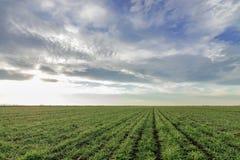 Jeunes plantes de blé dans un terrain Jeune élevage vert de blé Photographie stock