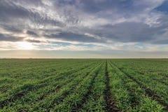 Jeunes plantes de blé dans un terrain Jeune élevage vert de blé Images libres de droits