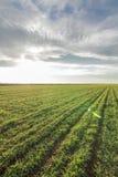 Jeunes plantes de blé dans un terrain Jeune élevage vert de blé Photos libres de droits