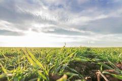 Jeunes plantes de blé dans un terrain Jeune élevage vert de blé Photos stock