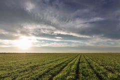 Jeunes plantes de blé dans un terrain Jeune élevage vert de blé Image stock