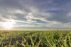 Jeunes plantes de blé dans un terrain Jeune élevage vert de blé Image libre de droits