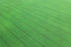 Jeunes jeunes plantes de blé s'élevant dans une vue aérienne de champ Photos libres de droits