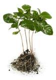 Jeunes plantes de caféier Images libres de droits