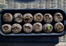 Jeunes plantes de cataire dans des cosses Images libres de droits