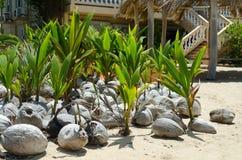 Jeunes plantes de Cconut Images stock