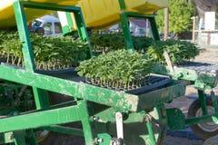 Jeunes plantes de chanvre industriel sur le planteur image libre de droits