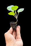Jeunes plantes de chou Images stock