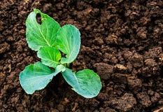 Jeunes plantes de chou Photo libre de droits