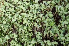 Jeunes plantes de chou Culture de chou en serre chaude Se Photo stock