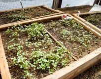 Jeunes plantes de chou Culture de chou en serre chaude Photo libre de droits