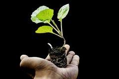 Jeunes plantes de chou sur ma main Photographie stock