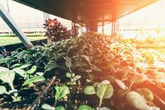 Jeunes plantes de cinéraire s'élevant dans des pots en plastique en serre chaude pour les plantes d'intérieur organiques ornement Image stock