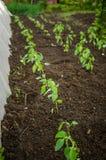jeunes plantes de Cloche-poivres dans le jardin images libres de droits
