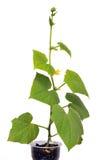 Jeunes plantes de concombre Photos libres de droits
