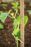 Jeunes plantes de concombre Image stock