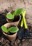 Jeunes plantes de courge au sol Images libres de droits