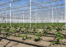 Jeunes plantes de courgette élevant la serre chaude intérieure images libres de droits