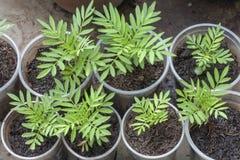 Jeunes plantes de fleur de souci en verre en plastique utilisé photographie stock