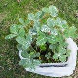 Jeunes plantes de fraise pulvérisées avec le mélange de Bordeaux images stock