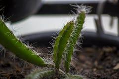 Jeunes plantes de fruit du dragon dans des pots photographie stock