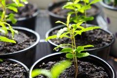 Jeunes plantes de jeunes plantes de grenade dans des pots de fleur en plastique sur les pousses de fenêtre en serre chaude de pot photo stock