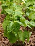 Jeunes plantes de haricot Image libre de droits