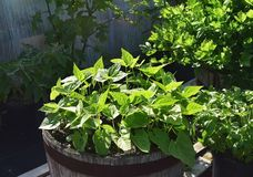 Jeunes plantes de haricot dans le baril de whiskey photos libres de droits